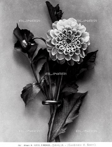 ACA-F-016036-0000 - Tralcio con fiore di Dahlia. - Data dello scatto: 1915-1920 ca. - Archivi Alinari, Firenze