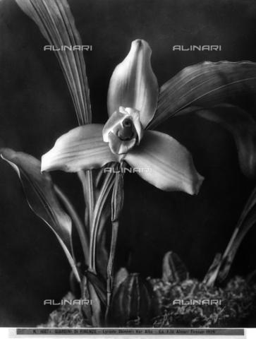 ACA-F-016074-0000 - Esemplare di 'Lycaste Skinneri', specie di orchidea tropicale. Giardino del marchese Carlo Ridolfi. Giardiniere N. Moroni - Data dello scatto: 1915 -1920 ca. - Archivi Alinari, Firenze