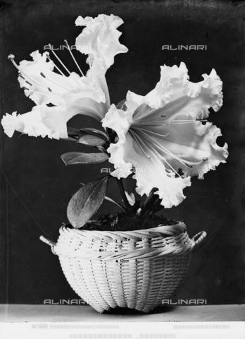 ACA-F-016107-0000 - Rododendro di Veitch - Data dello scatto: 1890 ca. - Archivi Alinari, Firenze