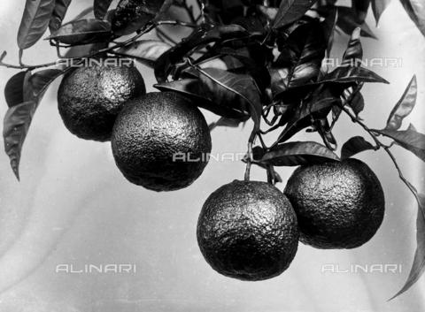 ACA-F-016141-0000 - Ramo d'arancio con i frutti. Una pianta dei giardini di Firenze - Data dello scatto: 1915-1920 ca. - Archivi Alinari, Firenze