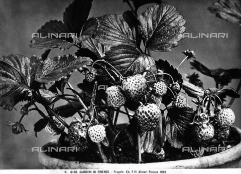 ACA-F-016150-0000 - Fragole, Giardini di Firenze - Data dello scatto: 1929 - Archivi Alinari, Firenze