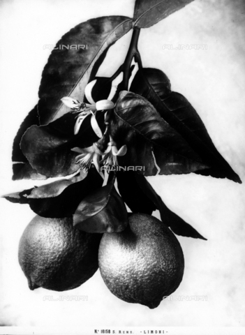 ACA-F-016158-0000 - Limoni, San Remo - Data dello scatto: 1915-1920 ca. - Archivi Alinari, Firenze