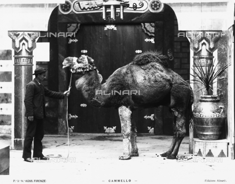 ACA-F-016205-0000 - A camel with his keeper in Florence