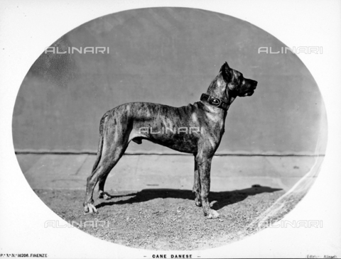 ACA-F-016206-0000 - Great Dane
