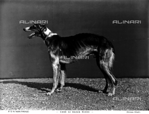 ACA-F-016208-0000 - Russian dog