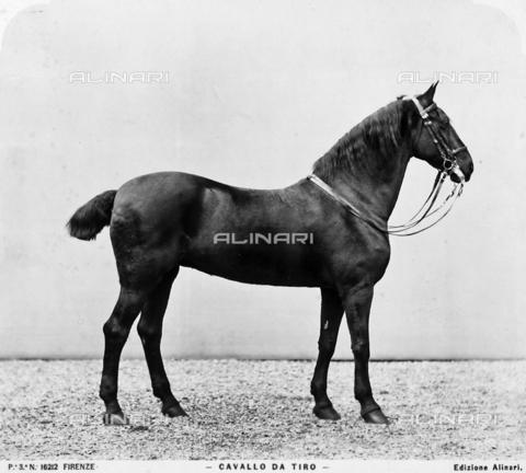 ACA-F-016212-0000 - A pull horse
