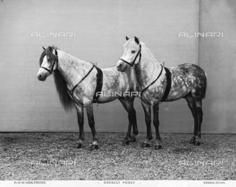 ACA-F-016216-0000 - Two ponies