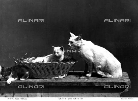 ACA-F-016222-0000 - A cat and kittens in a wicker basket
