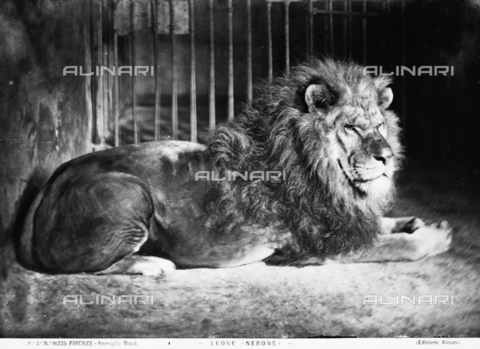 ACA-F-016225-0000 - A lion named Nero in his cage