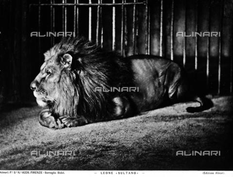 ACA-F-016226-0000 - A sultan lion
