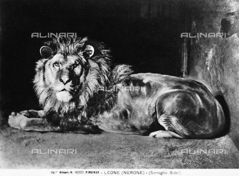 ACA-F-016227-0000 - A lion named Nero in his cage. Florence