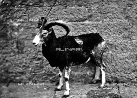 ACA-F-016231-0000 - A mouflon