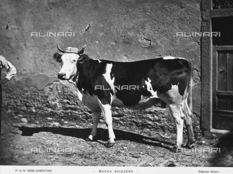 ACA-F-016232-0000 - A Swiss cow.