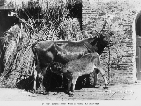 ACA-F-016234-0000 - A cow with her calf