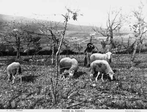 ACA-F-016235-0000 - Sheep at pasture