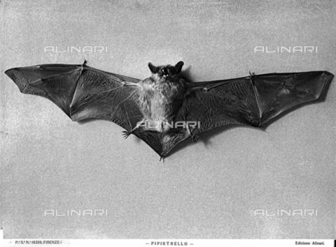 ACA-F-016236-0000 - A bat.