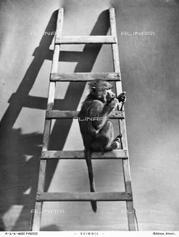 ACA-F-016237-0000 - A monkey on the step of a ladder