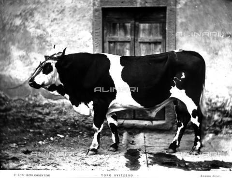 ACA-F-016239-0000 - A Swiss bull.