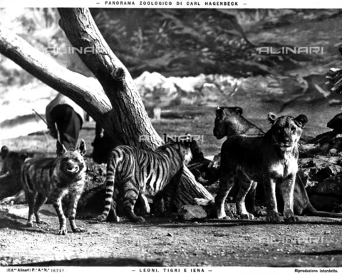 ACA-F-16238A-0000 - Images of the Carl Hagenbeck Zoological Park with three types of animals: tigers, lions and hyenas