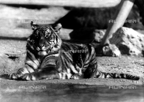 ACA-F-16238B-0000 - A tiger at the Carl Hagenbeck Zoo