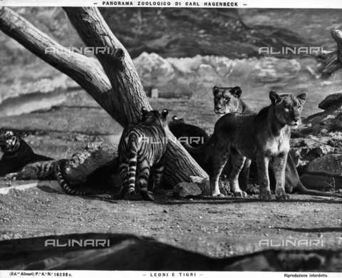 ACA-F-16238C-0000 - Images of the Carl Hagenbeck Zoologic Park with tigers and lions