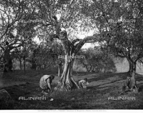 ACA-F-31230A-0000 - Children picking olives among the olive trees, on a hill in Santa Margherita a Montici, Florence