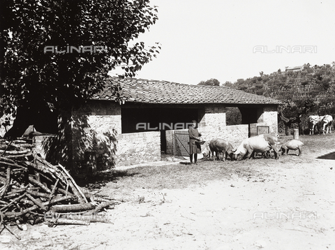 APA-F-000105-0000 - A girl feeding the pigs at the farm of Baron Giovanni Ricasoli Firidolfi di Brolio, in the province of Siena.