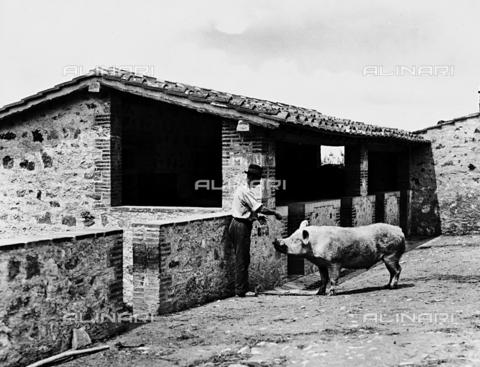 APA-F-0122RI-0000 - Siena (environs). Fattoria Ricasoli Firidolfi Brolio. Pig farm