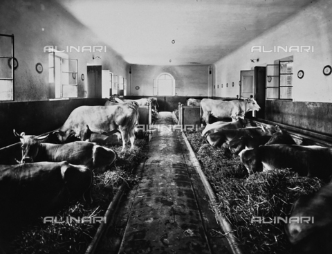 APA-F-012339-0000 - Stall with cows owned by the asylum of S. Salvi, Florence