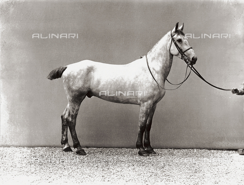 APA-S-000759-0002 - Portrait of a horse
