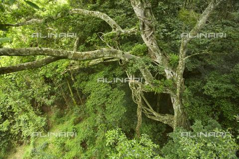 APN-F-141141-0000 - Dlinza Forest interior. Eshowe. KwaZulu Natal. South Africa - Africamediaonline/Archivi Alinari, Firenze