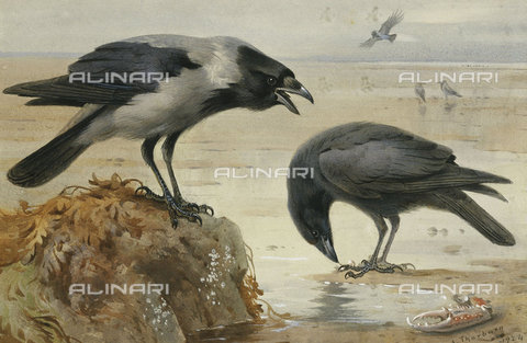 ATK-F-037575-0000 - A Hooded Crow and a Carrion Crow. 1924,Pencil/Watercolour,20th century,Thorburn,Archibald,1860-1935,heightened with white - Christie's Images / Artothek/Alinari Archives