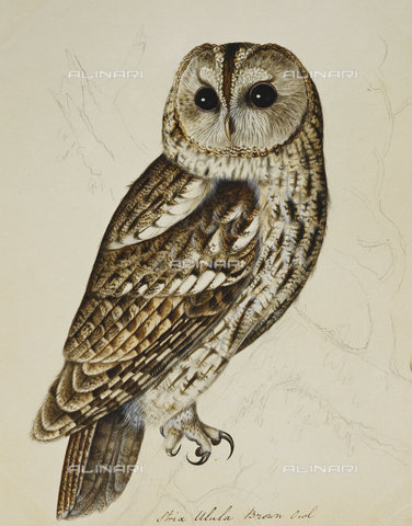 ATK-F-037845-0000 - Brown Owl (Strix Ulula).,Watercolour and pencil,18th century,heightened with gum arabic,Atkinson,Christopher,1754-1795 - Christie's Images / Artothek/Alinari Archives