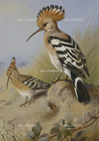 ATK-F-037846-0000 - Hoopoes. 1924,Watercolour over pencil,heightened with bodycolour,1860-1935,Thorburn,Archibald,20th century, - Christie's Images / Artothek/Alinari Archives