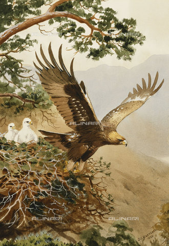 ATK-F-037847-0000 - Golden Eagle with Young, Aviemore.,Watercolour over pencil,20th century,heightened with white,Harrison,John Cyril,1898-1985 - Christie's Images / Artothek/Alinari Archives