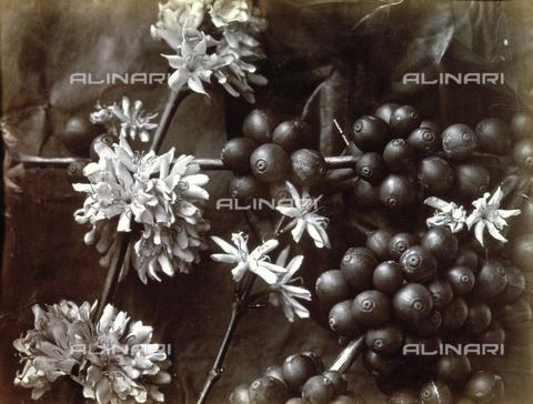 AVQ-A-000060-0025 - Corposi frutti e bianche infiorescenze del caffè - Data dello scatto: 1870-1890 ca. - Archivi Alinari, Firenze