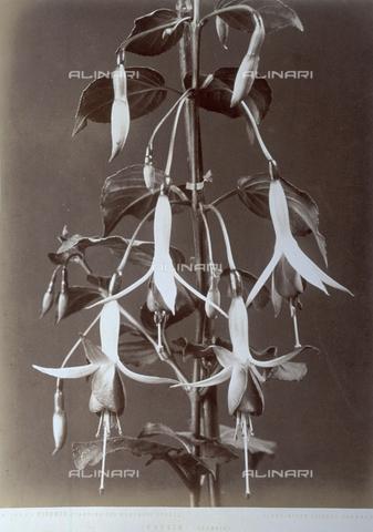 AVQ-A-000071-0029 - Tralcio di fucsia, specie arborea dai caratteristici fiori penduli - Data dello scatto: 1880 ca. - Archivi Alinari, Firenze