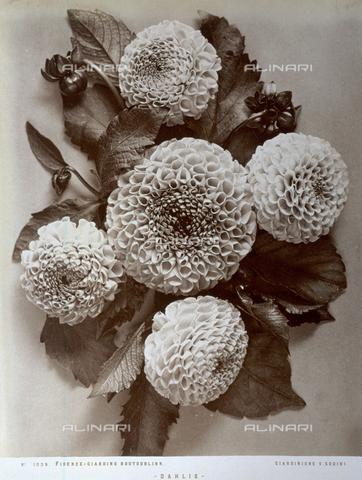 AVQ-A-000071-0031 - Mazzo di dalie da bordura - Data dello scatto: 1880 ca. - Archivi Alinari, Firenze