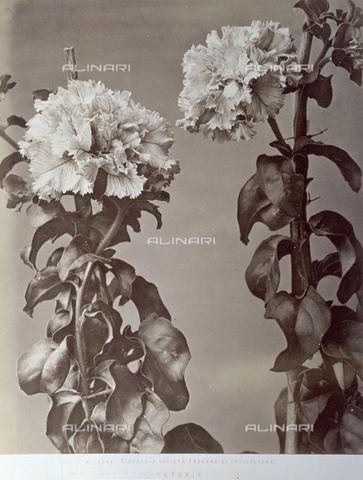 AVQ-A-000071-0033 - Primo piano di alcuni fiori di petunia - Data dello scatto: 1880 ca. - Archivi Alinari, Firenze