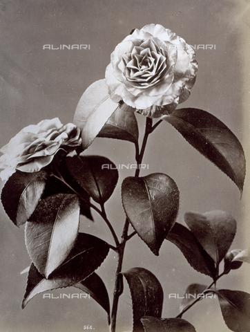 AVQ-A-000071-0050 - Ramo fiorito di camelia - Data dello scatto: 1870-1880 - Archivi Alinari, Firenze
