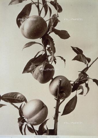 AVQ-A-000071-0055 - Ramo di pesco con frutti - Data dello scatto: 1880 ca. - Archivi Alinari, Firenze