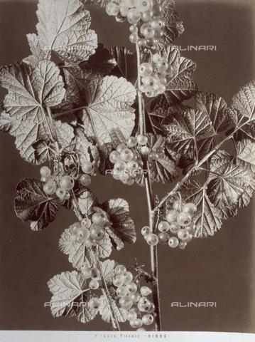 AVQ-A-000071-0061 - Rami di ribes con foglie e frutti - Data dello scatto: 1880 ca. - Archivi Alinari, Firenze