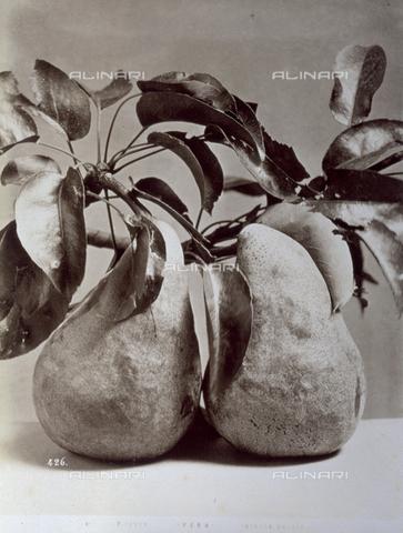 AVQ-A-000071-0078 - Primo piano di pere attaccate ad un ramo. All'apice dei frutti sono presenti numerose foglie - Data dello scatto: 1870-1880 - Archivi Alinari, Firenze