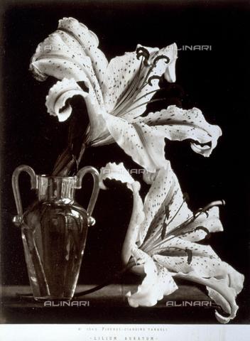 AVQ-A-000071-0093 - Esemplare di 'Lilium Auratum' del giardino Tanagli di Firenze - Data dello scatto: 1880 ca. - Archivi Alinari, Firenze