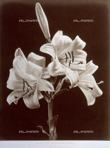AVQ-A-000071-0094 - Esemplare di gigli del giardino Alinari di Firenze - Data dello scatto: 1885 ca. - Archivi Alinari, Firenze