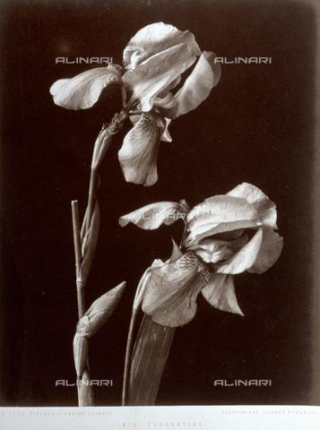AVQ-A-000071-0096 - Esemplare di iris florentina del giardino Alinari di Firenze - Data dello scatto: 1885 ca. - Archivi Alinari, Firenze