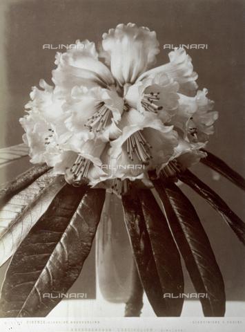 AVQ-A-000071-0104 - Mazzo di 'Rhododendron Longifolium' del giardino Boutourlinn di Firenze - Data dello scatto: 1880 ca. - Archivi Alinari, Firenze