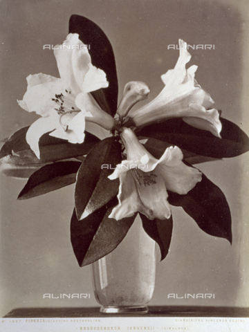 AVQ-A-000071-0105 - Esemplare in vaso di 'Rhododendron Ienhensii' del giardino Boutourlinn di Firenze - Data dello scatto: 1880 ca. - Archivi Alinari, Firenze