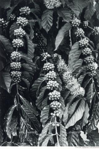 AVQ-A-000097-0060 - Frutti di una pianta di caffè - Data dello scatto: 1912 ca. - Archivi Alinari, Firenze