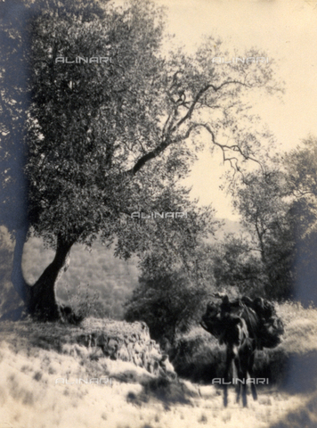AVQ-A-000205-0016 - A donkey on a country road - Date of photography: 1931 ca. - Fratelli Alinari Museum Collections, Florence